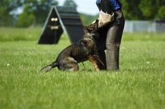 Schäferhund bei der Arbeit Stockfoto
