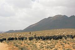 Schäferhund bei Marokko Stockbilder