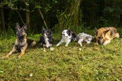 Schäferhund Belgian Shepherd und Border collie im Wald Lizenzfreie Stockfotos