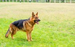 Schäferhund bereit Stockbilder