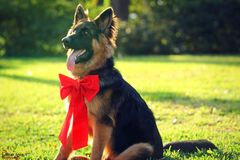 Schäferhund Christmas Foto lizenzfreies stockbild