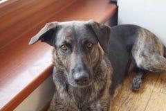 Schäferhund crosbreed lizenzfreies stockfoto