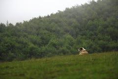 Schäferhund in den Hochländern Stockfotos