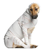 Schäferhund in den Verbänden Lizenzfreies Stockfoto