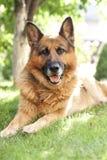 Schäferhund, der auf dem Gras liegt Lizenzfreie Stockfotografie