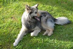 Schäferhund, der auf dem Gras stillsteht stockfotos