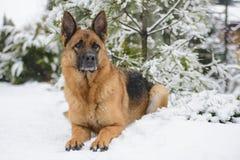 Schäferhund, der auf dem Schnee liegt lizenzfreies stockbild