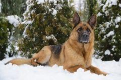 Schäferhund, der auf dem Schnee liegt Stockfotografie