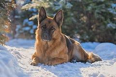 Schäferhund, der auf dem Schnee liegt Stockfoto