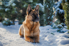 Schäferhund, der auf dem Schnee liegt lizenzfreie stockbilder