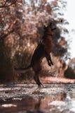Schäferhund, der auf den Fluss springt lizenzfreies stockbild
