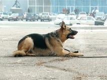 Schäferhund, der auf der Plasterung liegt Lizenzfreies Stockfoto