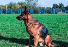 Schäferhund, der auf grünem Gras sitzt lizenzfreie stockbilder