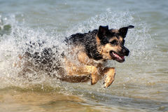 Schäferhund, der durch Wasser läuft Lizenzfreie Stockfotografie