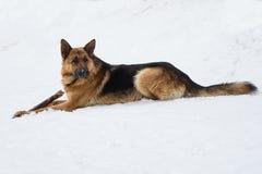 Schäferhund, der einen Stock kaut stockbilder
