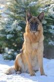 Schäferhund, der im Schnee in den Strahlen der Sonne sitzt lizenzfreie stockfotos
