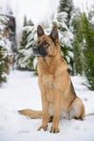 Schäferhund, der im Schnee sitzt lizenzfreies stockfoto
