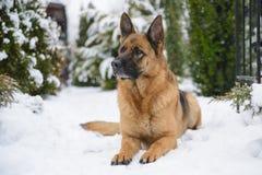 Schäferhund, der im Schnee sitzt lizenzfreie stockfotografie