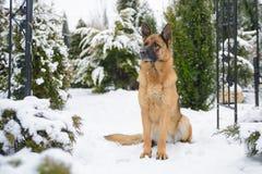 Schäferhund, der im Schnee sitzt lizenzfreies stockbild