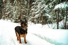 Schäferhund, der im Winter im Wald spielt stockfotos