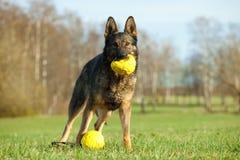 Schäferhund, der mit gelben Kugeln spielt lizenzfreie stockfotografie