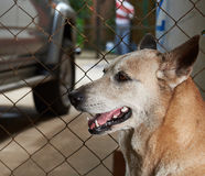 Schäferhund, der nahe bei Zaun wartet Stockbilder