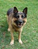 Schäferhund, der oben steht lizenzfreie stockbilder