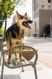 Schäferhund in der Stadt lizenzfreie stockfotografie