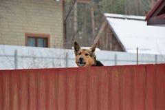 Schäferhund, der um den Zaun späht Lizenzfreie Stockbilder