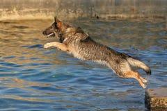 Schäferhund, der in Wasser springt Stockfotografie