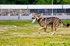 Schäferhund, der Wettbewerbe einer Frisbeediskette nachläuft Stockbilder