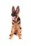 Schäferhund des Schätzchens Lizenzfreie Stockbilder