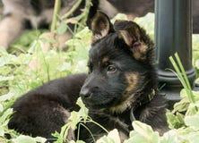 Schäferhund des Welpen Lizenzfreie Stockbilder