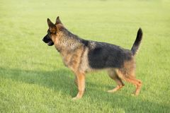 Schäferhund Dog lizenzfreies stockbild