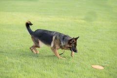 Schäferhund Dog stockfotos