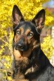 Schäferhund Dog Lizenzfreies Stockfoto