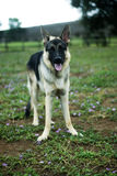 Schäferhund Dog Stockfoto
