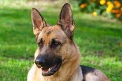 Schäferhund Dog Lizenzfreie Stockbilder