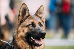 Schäferhund Dog Close Up Elsässer Wolf Dog Or German Shepherd lizenzfreie stockfotografie