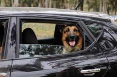Schäferhund Dog, das aus einem Automobilfenster heraus schaut Lizenzfreie Stockfotografie