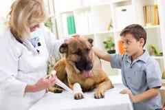 Schäferhund Dog, das vorbei Verband nach Verletzung auf seinem Bein erhält Stockfoto