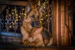 Schäferhund Dog liegt auf dem hölzernen Balkon Lizenzfreie Stockfotos