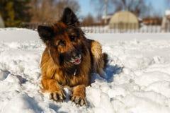 Schäferhund Dog stockbilder