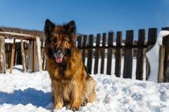 Schäferhund Dog stockfotografie