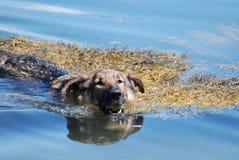 Schäferhund Dog Swimming mit einem Tennisball lizenzfreie stockfotos