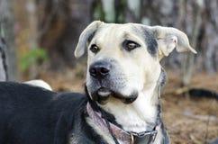 Schäferhund Dog und Chinese Shar Pei mischten Zuchthund Lizenzfreie Stockfotos