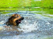 Schäferhund in einem Fluss Lizenzfreie Stockbilder