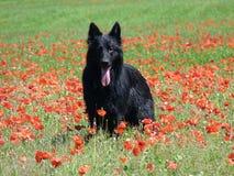 Schäferhund in einem Mohnfeld Stockbilder