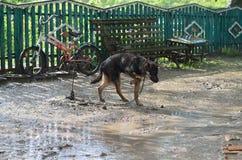 Schäferhund erhält im Regen naß Stockfotografie