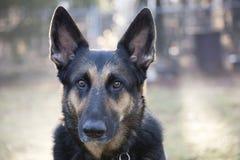 Schäferhund-Head-Schuss Lizenzfreies Stockfoto